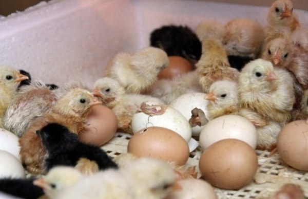chickens hatch from eggs