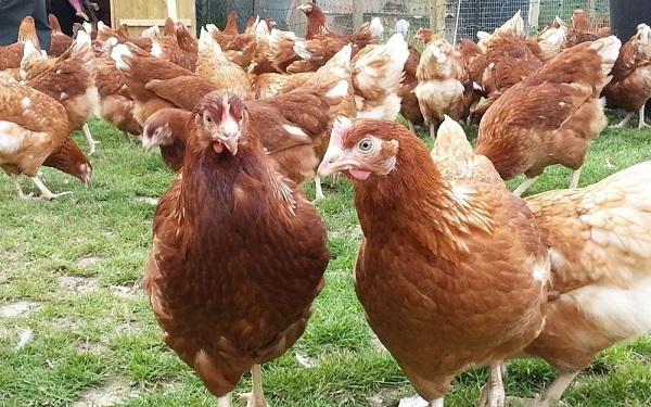 chickens rhodonite