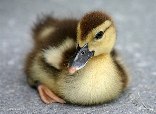 duck egg incubation
