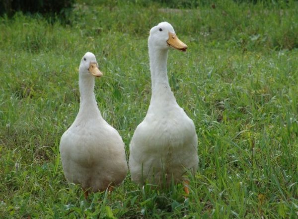 duck agidel
