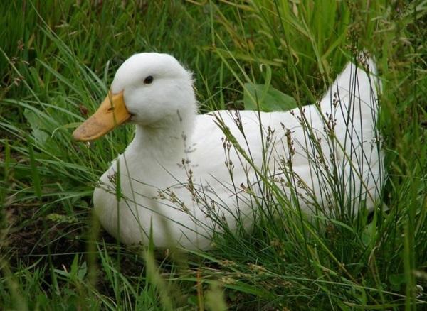 broiler ducks