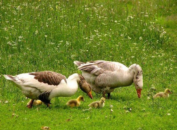Feeding goslings