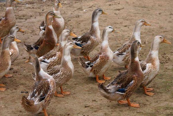 Bashkir duck breed