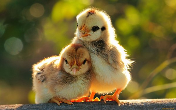 growing chickens at home