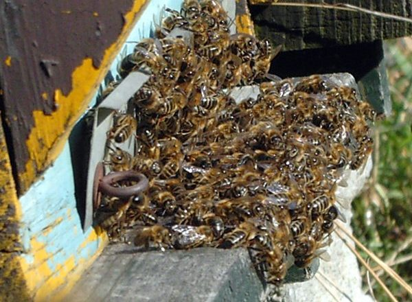 Dead bees