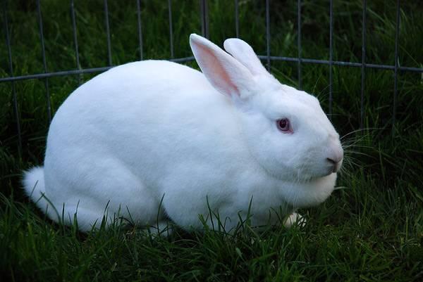 White rabbit in the valier