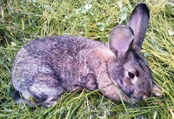 Coccidiosis in rabbits