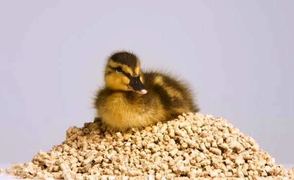 How to feed ducklings