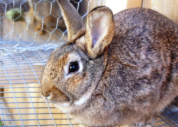 Diarrhea in rabbits
