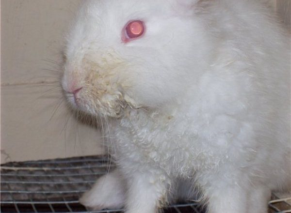 Infectious stomatitis in rabbits