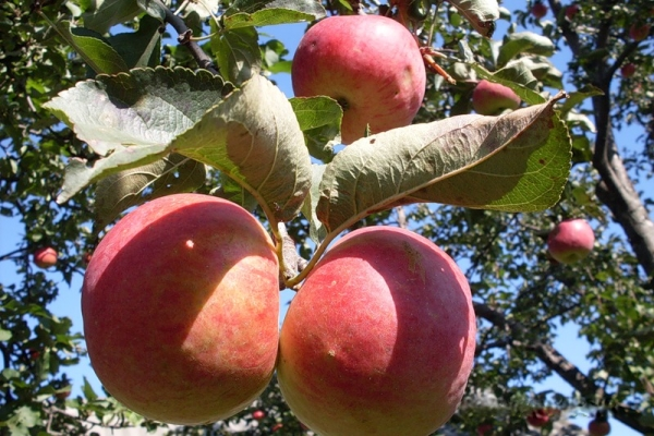 Zhigulevskoe apple varieties: descriptive characteristics, selection history