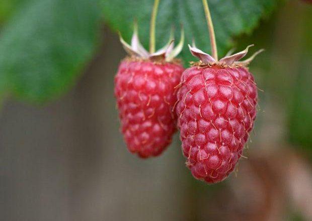 Raspberry giant