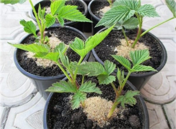 Reproduction of raspberries: ways and methods, features of planting seedlings