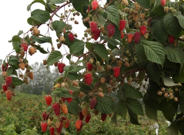 Standard raspberry: characteristics and description of varieties, planting and care