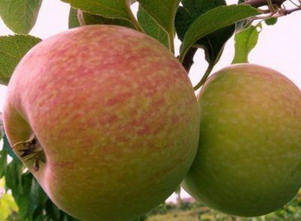 Apple variety of Candy: descriptive characteristics, rules of planting and care