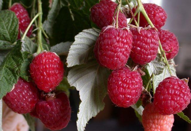 Raspberry heracles