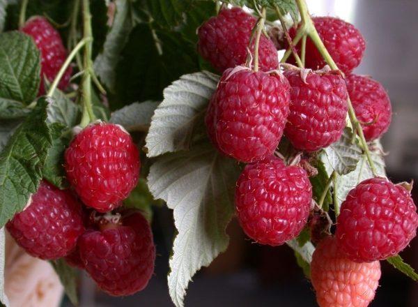 Polana raspberry variety: variety characteristics, planting and care rules