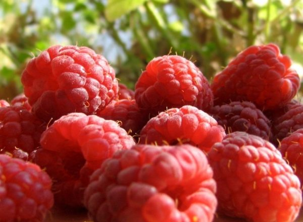 Growing raspberries as a business: the main stages, advantages and disadvantages