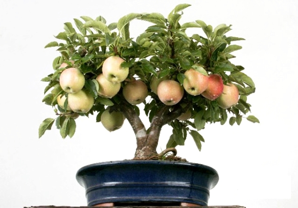 How to grow an apple tree from seeds at home: instructions