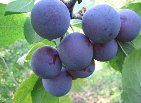 Grade Blue plum