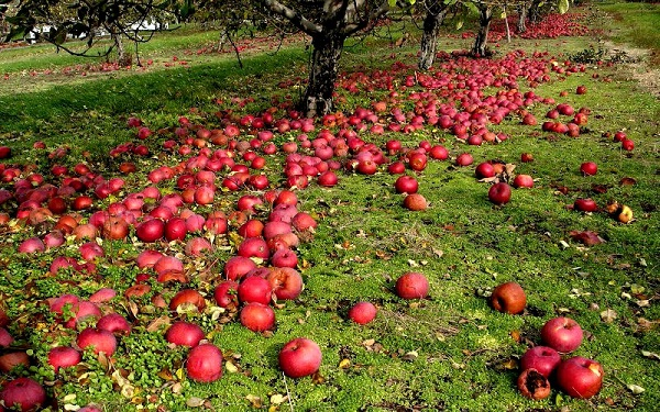 Causes of apple fall