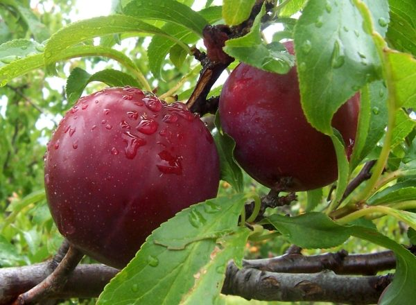Variety of Plum Candy: description and specifications, planting and care