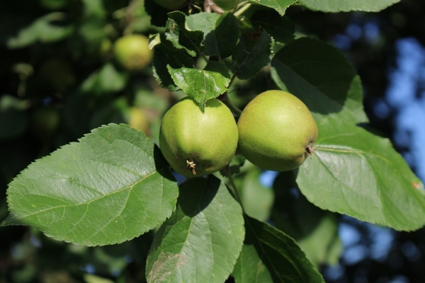 What can be done and how to apply unripe apples?