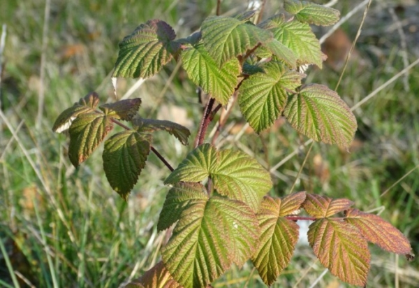 Planting raspberries in the fall: planting and care features