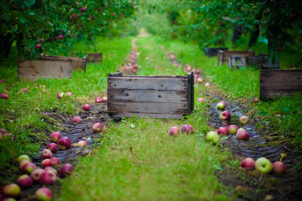 How and when to collect apples for storage for the winter: tips