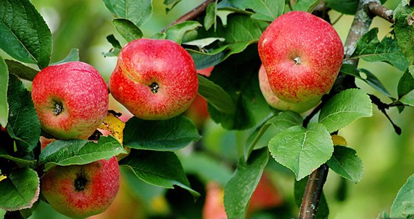 Apple tree Bellefle Chinese