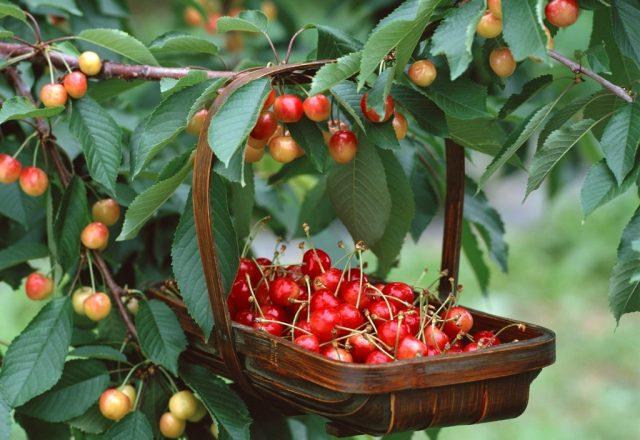 Cherry Fatezh