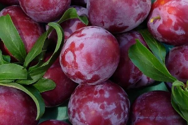 Descriptive characteristics of Chinese plum, skoroplodnaya
