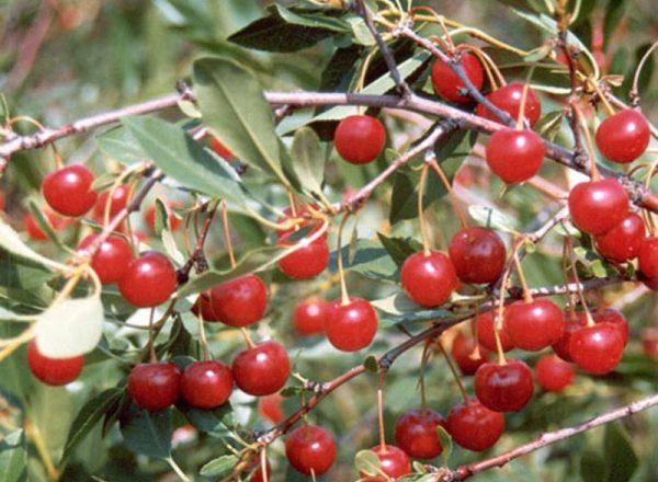 Steppe cherry