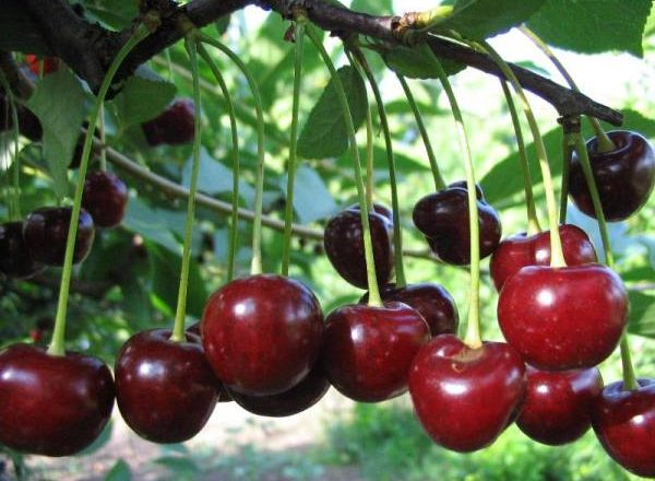 Cherry Youth variety