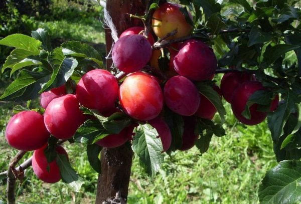 Ural Red variety plum: tree description, planting and care, fight against diseases and pests
