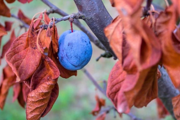 Proper care of the plum in the fall: necessary measures