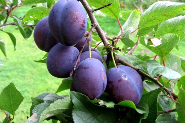 Why does plum not bear fruit and what to do about it?