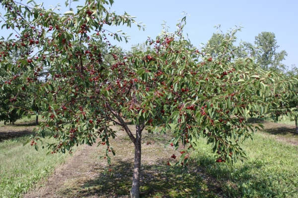 Planting cherries in the autumn, caring for trees, useful recommendations