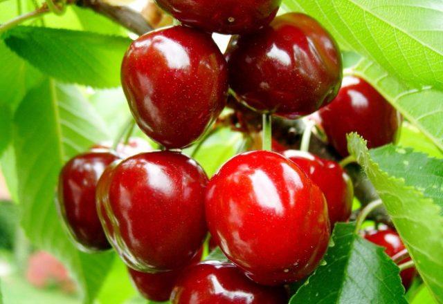 Cherry Turgenevka