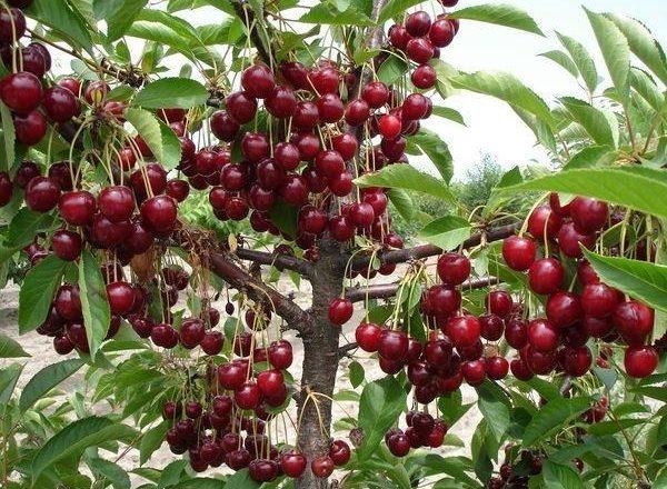 Abundant harvest of cherries