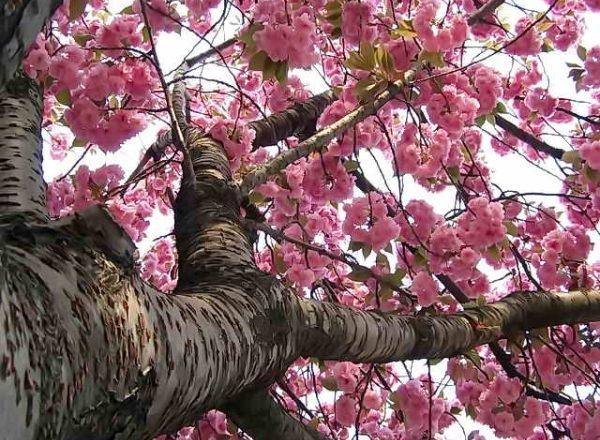 Japanese cherry Sakura: descriptive characteristics of the tree, planting, care, varieties