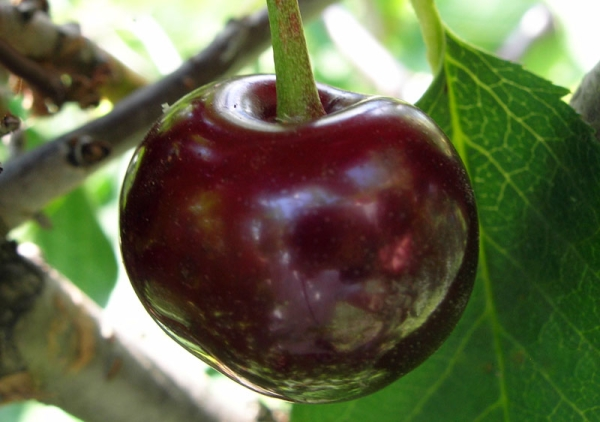 Vladimirskaya cherry variety: tree description, planting and care, protection from diseases and pests