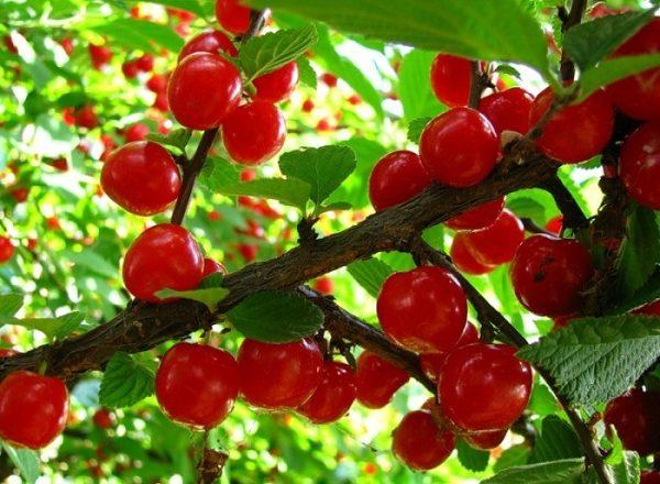 Cherry breeding options