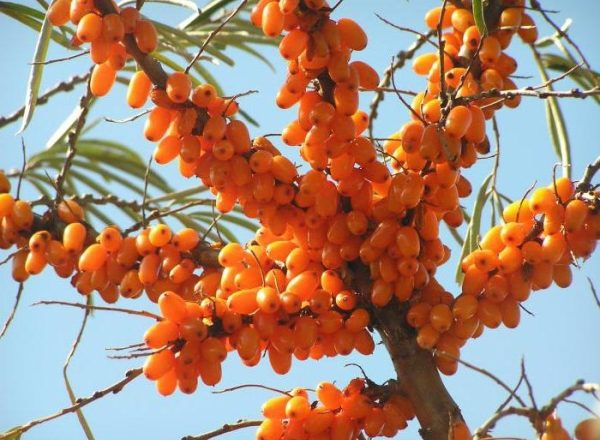 Planting and cultivation of sea buckthorn in the country, care and pruning, transplanting plants