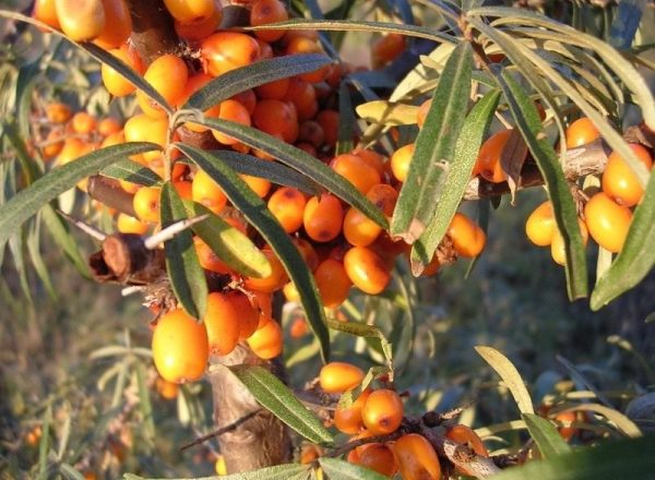 Methods of breeding sea buckthorn, their advantages and disadvantages