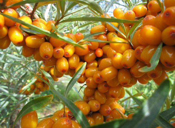 How to store sea buckthorn berries: proven methods and preparation for storage