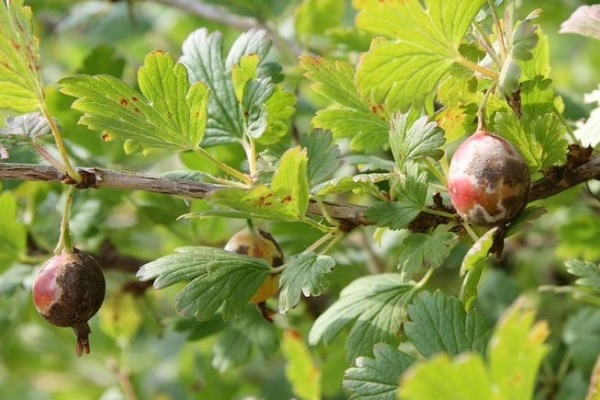 The main diseases and pests of gooseberry and their control, prevention measures, useful tips