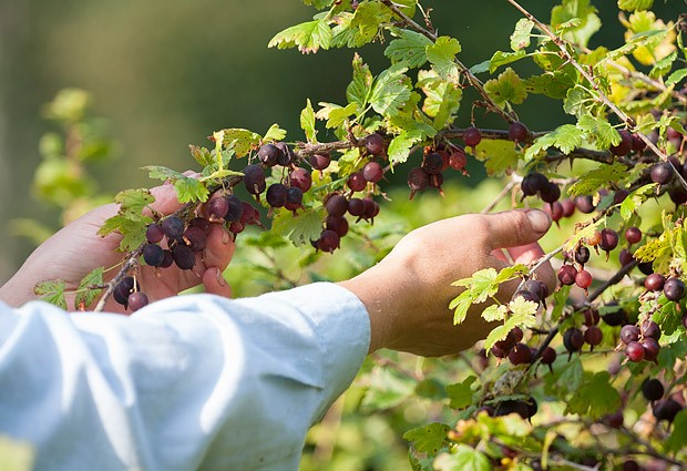 Caring for the gooseberry in the fall