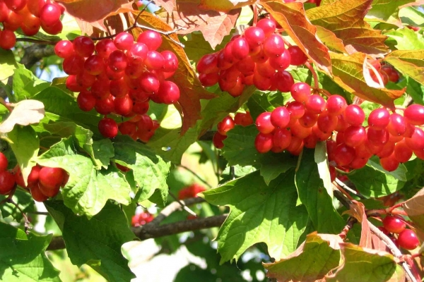 When it matures and in which month you can pick viburnum