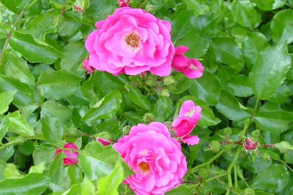Planting wild rose, caring for the plant, methods of reproduction